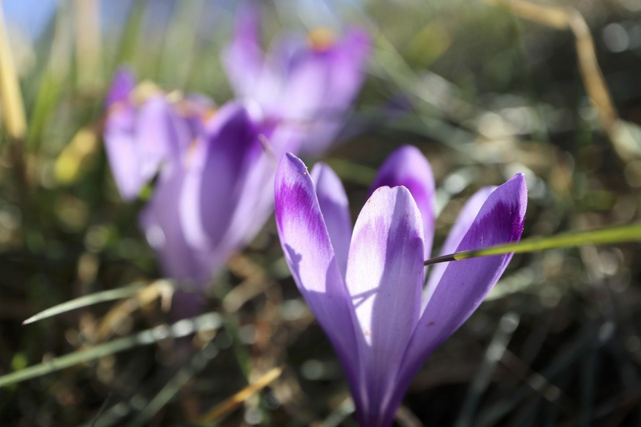 purple, flower, petal, growth, nature, beauty in nature, fragility, freshness, no people, flower head, close-up, plant, crocus, day, outdoors, focus on foreground, blooming