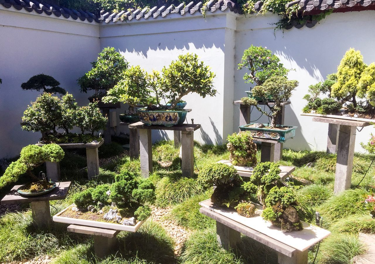 Bonsai Garden Plant Growth Building Exterior Bonsai Lush Foliage Green Chinese Garden Sydney Chinese Friendship Gardens Australia Tourist Attraction  Peaceful Meditation Garden Growth Cultivated Outdoors Ancient Culture Culture Patience Sculpted Pruned Hobby Nsw Botany