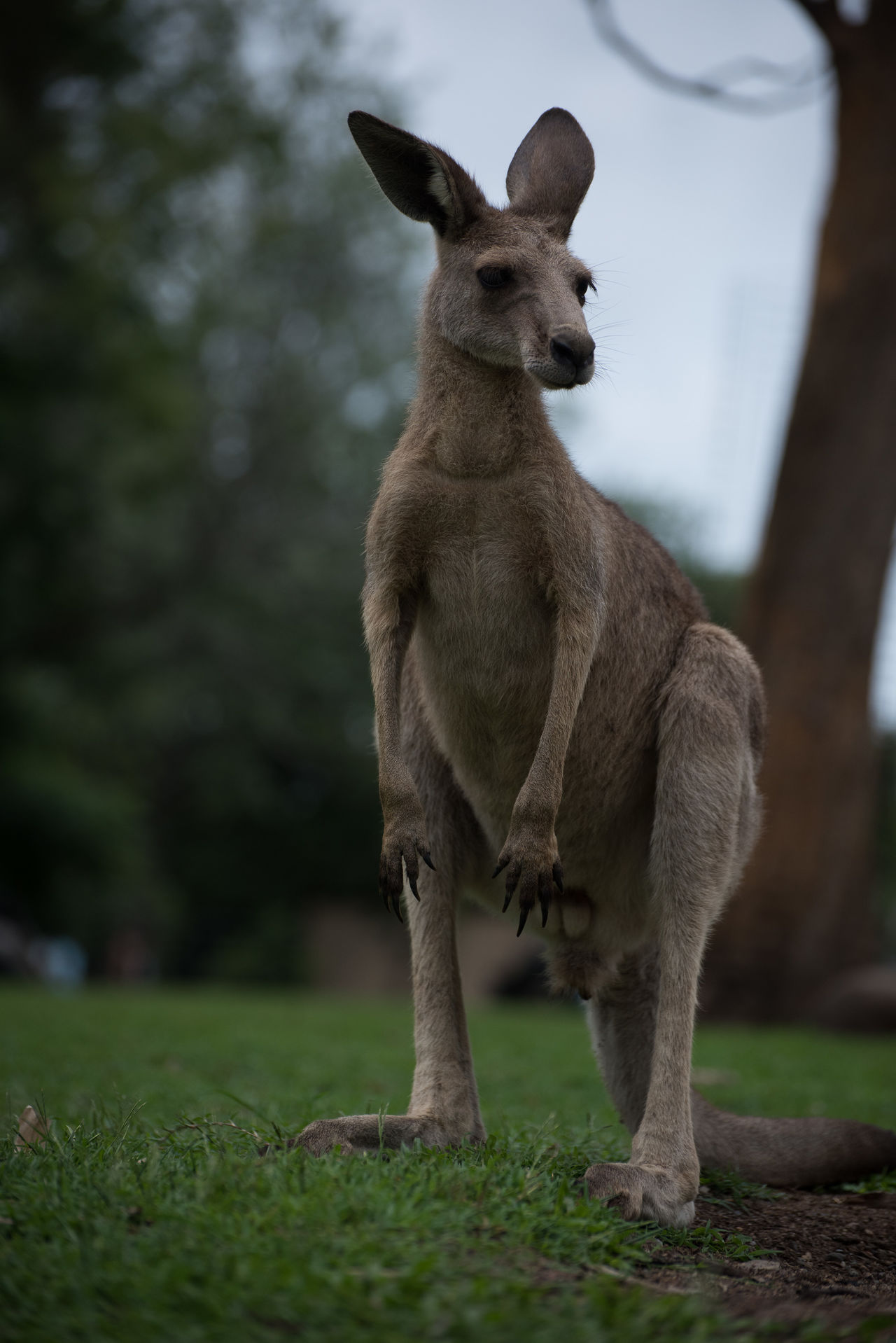 Beautiful stock photos of kangaroo, Animal Themes, Day, Front View, Full Length