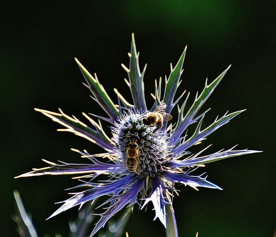 No People Nature Outdoors Day Thistle Flower Bees Beauty In Nature Beauty Colourful Mesmorising Eye Catching Stunning