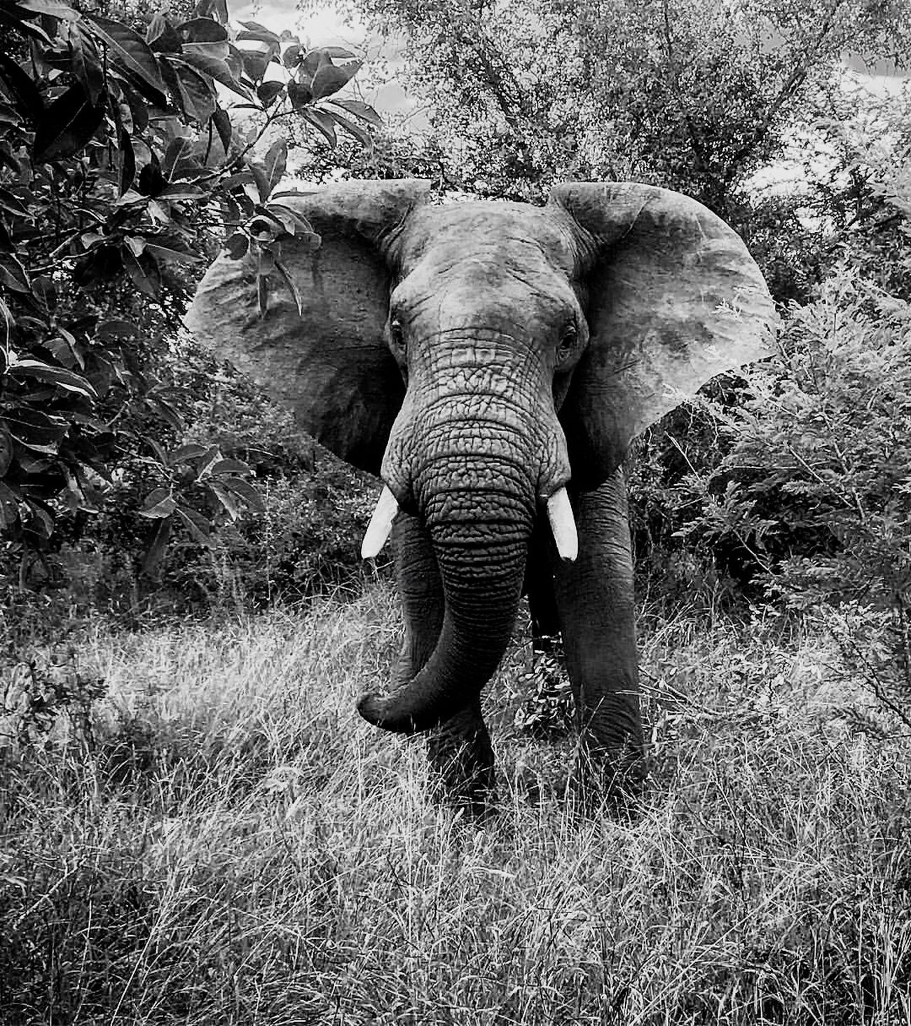 What can I say First Eyeem Photo Elephant Animal Themes Animal Wildlife Animals In The Wild Front View Grass Tusk Outdoors African Elephant