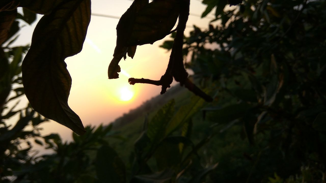 tree, leaf, growth, sunset, outdoors, agriculture, focus on foreground, nature, plant, silhouette, branch, hanging, fruit, no people, day, freshness, food, sky, close-up, beauty in nature