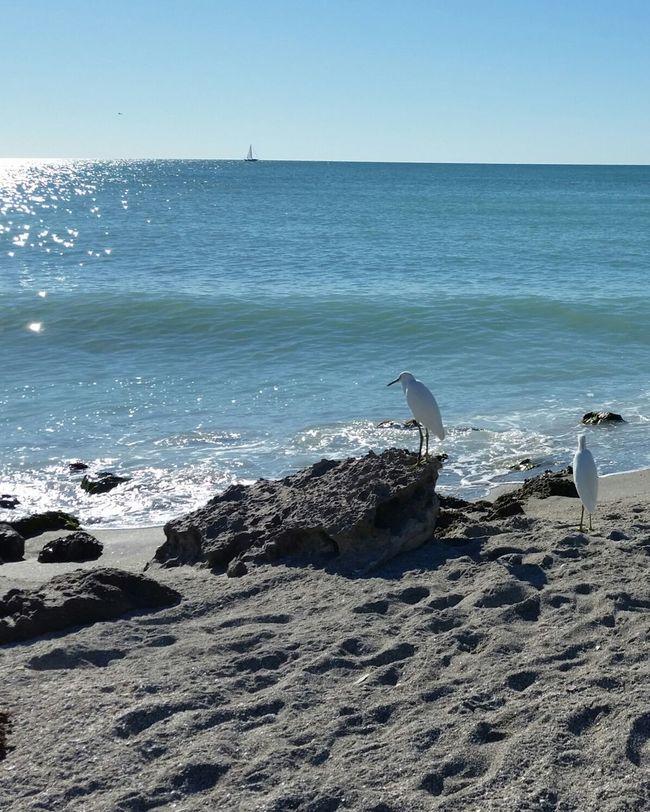 Sea Beach Sunlight Animals In The Wild Gulf Coast Florida No People Florida Gulf Coast Animals In The Wild Animal Wildlife Horizon Over Water Nature Outdoors Bird Birds On The Beach