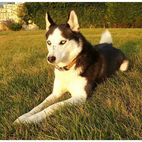 Husky Haski Dog Syberianhuskey