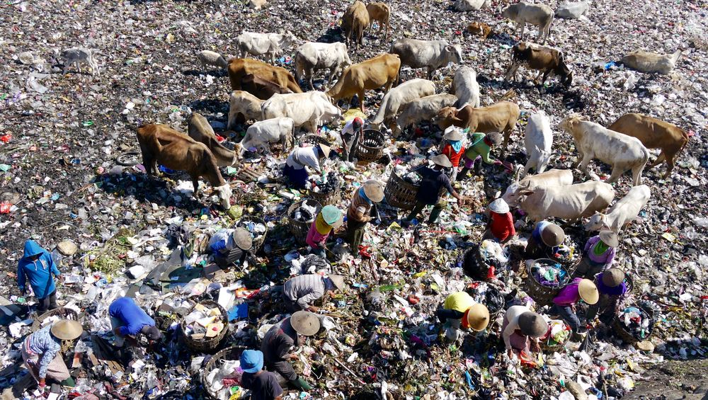 Abundance Animal Themes Cattle Choice Collection Day Dumping Dumping Rubbish Environment For Sale Garbage Health INDONESIA Landfill Large Group Of Objects Livestock Summer Variation