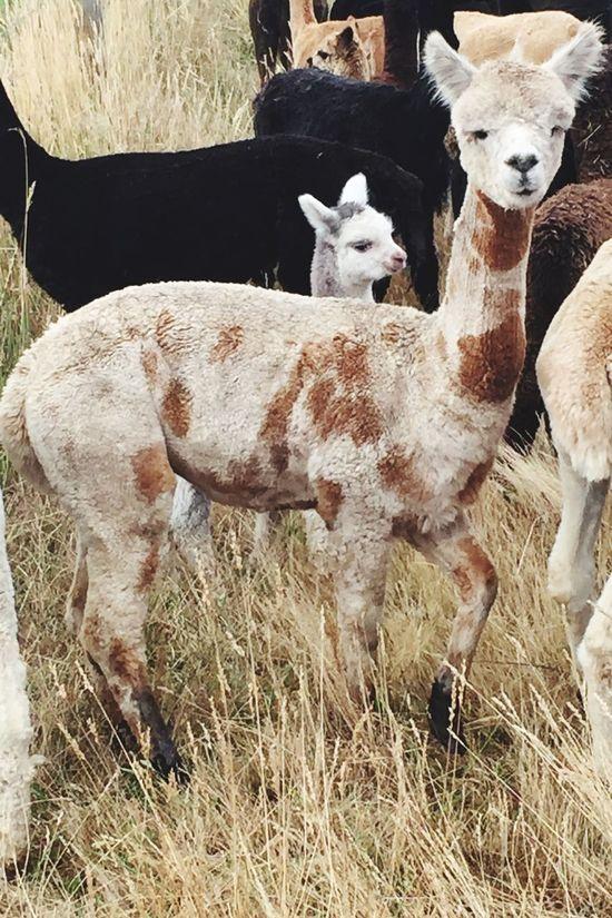Alpaca Alpaca Farm Spotty Field Cria Alpaca Baby Alpacas Alpaca Face Haylilla Alpacas