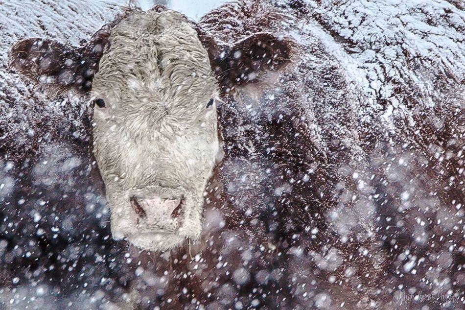 Moo Cow Snow Cowinsnow