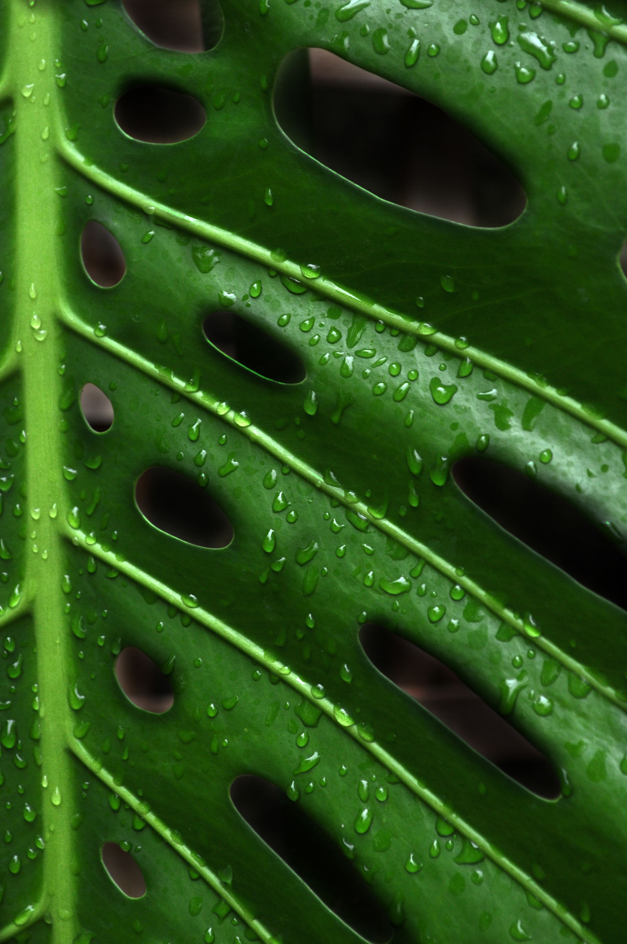 Backgrounds Close-up Day Detail Drop Full Frame Green Green Color Leaf Metal Nature No People Outdoors Pattern Swiss Cheese Plant Textured  Water Wet Natures Diversities Fine Art Photography Colour Of Life Color Palette Maximum Closeness