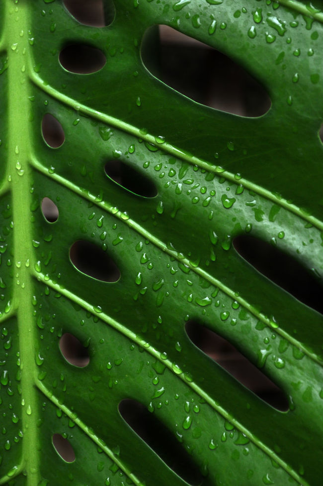 Backgrounds Close-up Day Detail Drop Full Frame Green Green Color Leaf Metal Nature No People Outdoors Pattern Swiss Cheese Plant Textured  Water Wet Natures Diversities Fine Art Photography Colour Of Life Color Palette