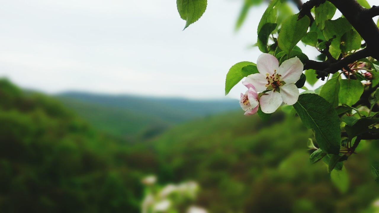 Flower Nature Blossom Beauty In Nature Springtime Tree Plant Day Leaf Branch No People Pink Color Green Color Outdoors Freshness Bükk Bükk National Park Spring Mountain Landscape EyeEm Nature Lover