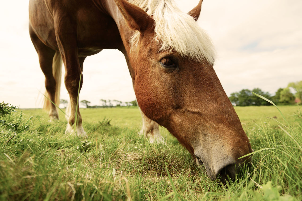 Grazing horse in close-up Animal Animal Portrait Animal Themes Close-up Day Domestic Animals Farm Farming Feeding  Field Grass Grazing Horse Landscape Livestock Mammal Meadow Nature No People Northern Germany One Animal Outdoors Pasture Pasture Rural Scene