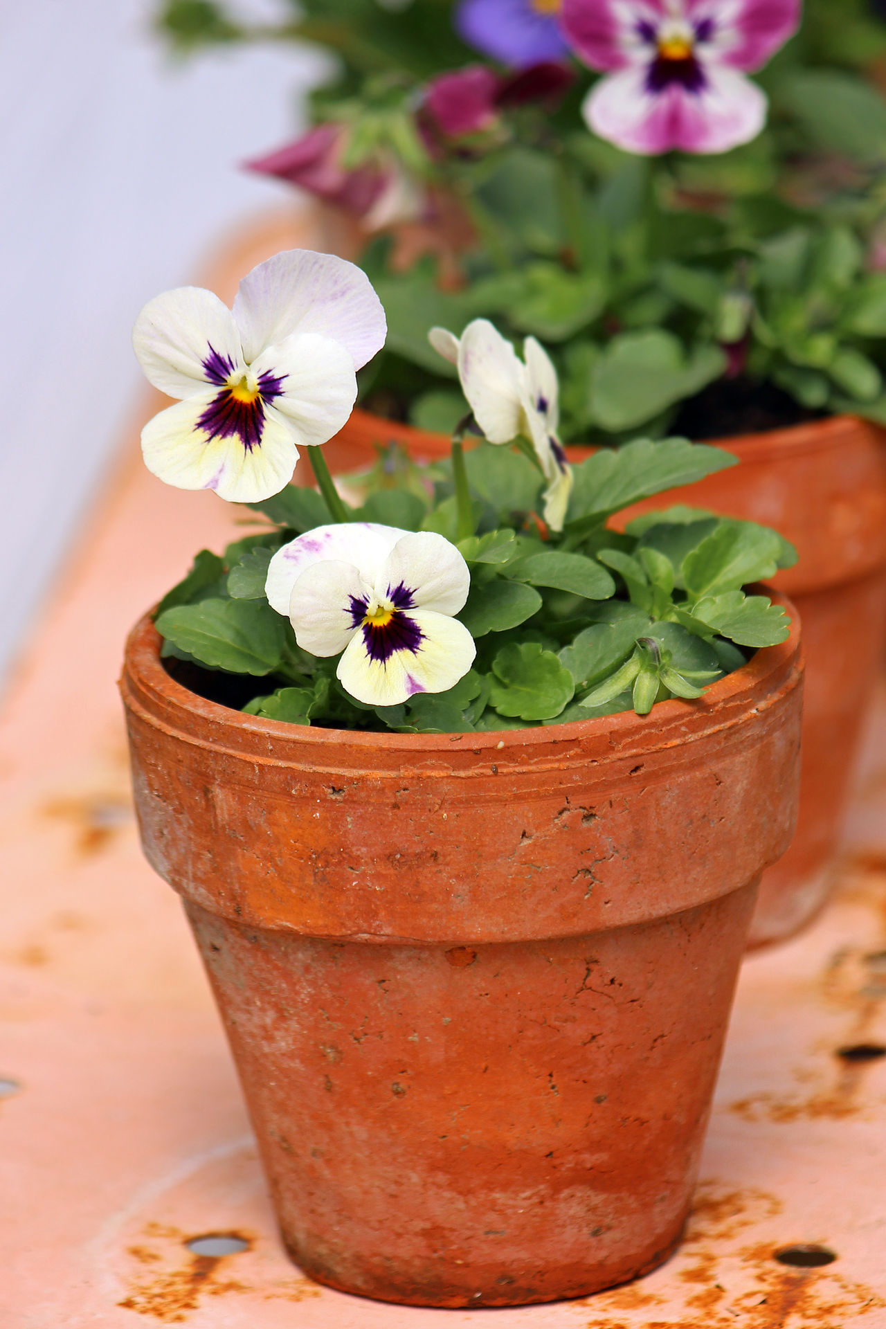 Pansy pots Background Beauty In Nature Blooms Container Gardening Flower Flower Head Fragility Freshness Growth Nature Pansy Flowers Potted Plant Potted Plants Selective Focus Spring Summer Terra Cotta Pots Violet