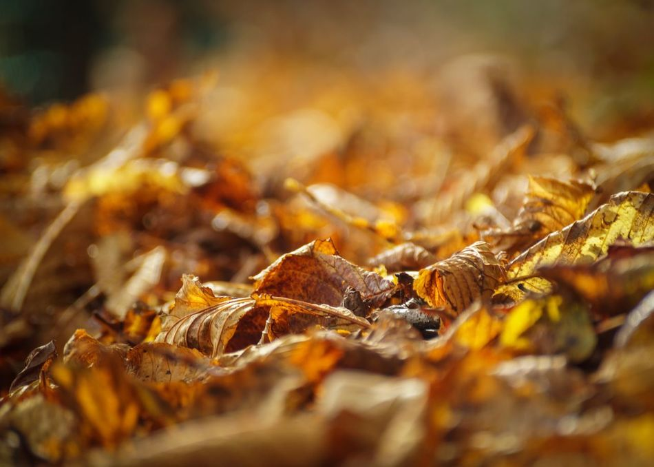 Selective Focus Close-up No People Leaf Change Nature Autumn Large Group Of Objects Outdoors Backgrounds Beauty In Nature Day Autumnal Autumn Colors Autumn Leaves Leaves Fallen Leaves Fall Colors Chestnut