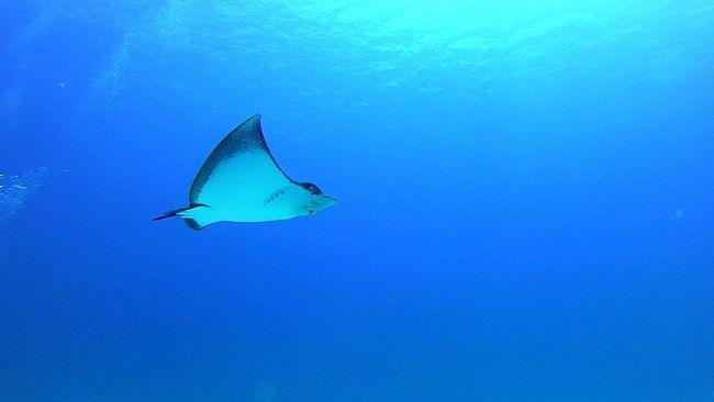 Underwater Under The Sea Sea Eagleray Eagle Ray Blue Scuba Diving Scubadiving Blue Wave