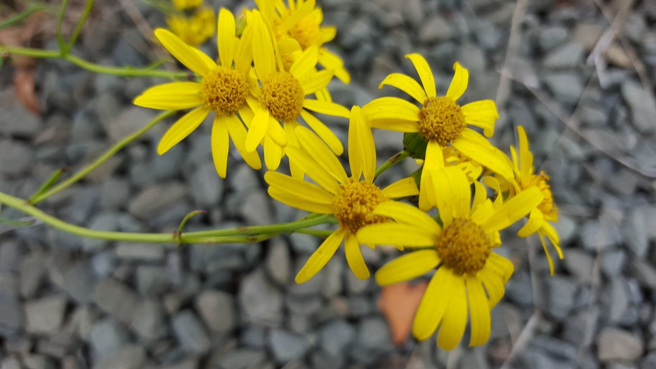 yellow, flower, petal, fragility, growth, nature, flower head, plant, beauty in nature, freshness, outdoors, day, no people, blooming, springtime, close-up