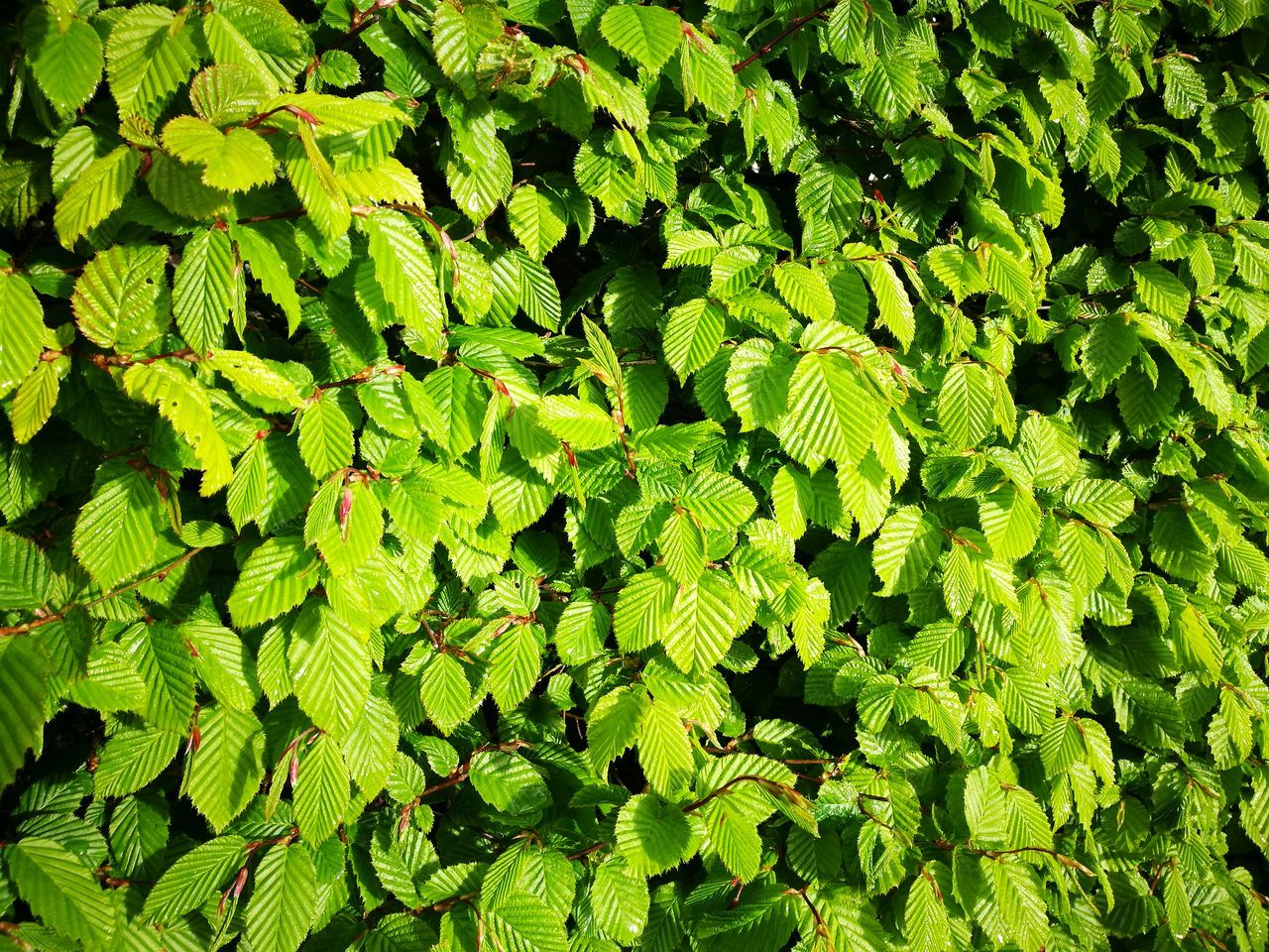 Nature Green Color Backgrounds No People Outdoors Beauty In Nature Freshness Day Leaf Close-up