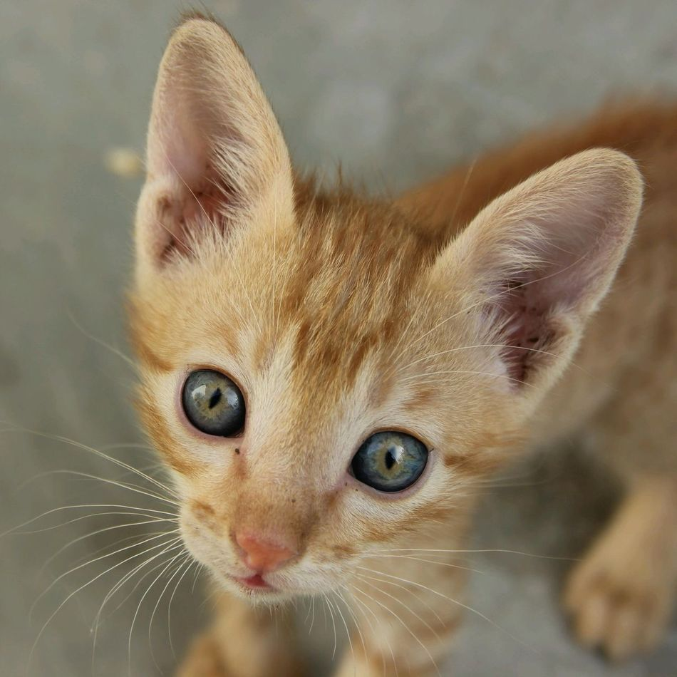 Beautiful stock photos of kitty, Animal Head, Animal Themes, Cat, Close-Up
