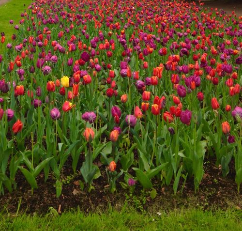 Flower Growth Field Nature Beauty In Nature Red Freshness Plant Outdoors No People Flowerbed Day Green Color Poppy Fragility Petal Leaf Rural Scene Flower Head Blooming