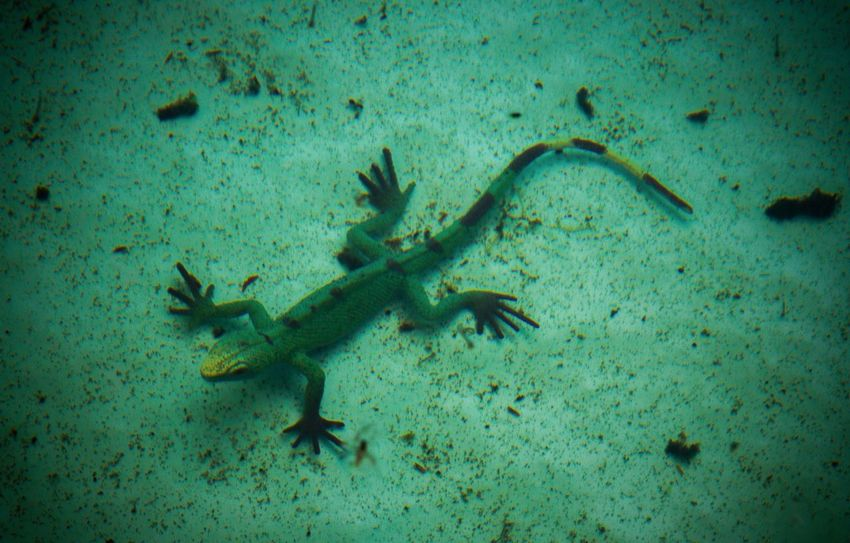 UnderSea Animals In The Wild Underwater Animal Wildlife Green Color No People Sea Animal Themes One Animal Blue Reptile Sea Life Outdoors Day Nature Close-up Toy Plastic Lizard