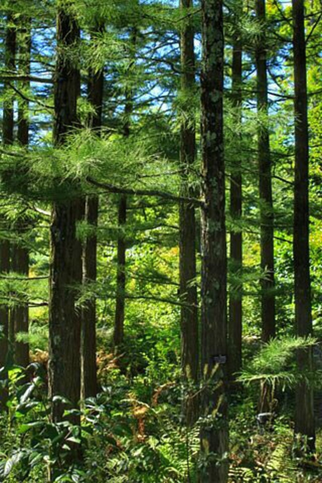 Beauty In Nature WoodLand Forest Lush Foliage Conifers Pine Needles Nature Solitude Outdoors Day Photography Color