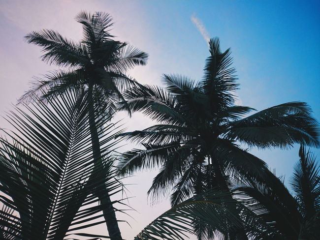 Coconut Palm Tree Coconut Tree Palm Trees Palm Tree Palm Leaves At The Beach Blue And White Sky Trees And Sky Nature Photography Nature_collection Smartphone Photography Smartphonephotography VSCO Vscocam VSCO Cam Vscodaily DaryllSwer EyeEm Selects