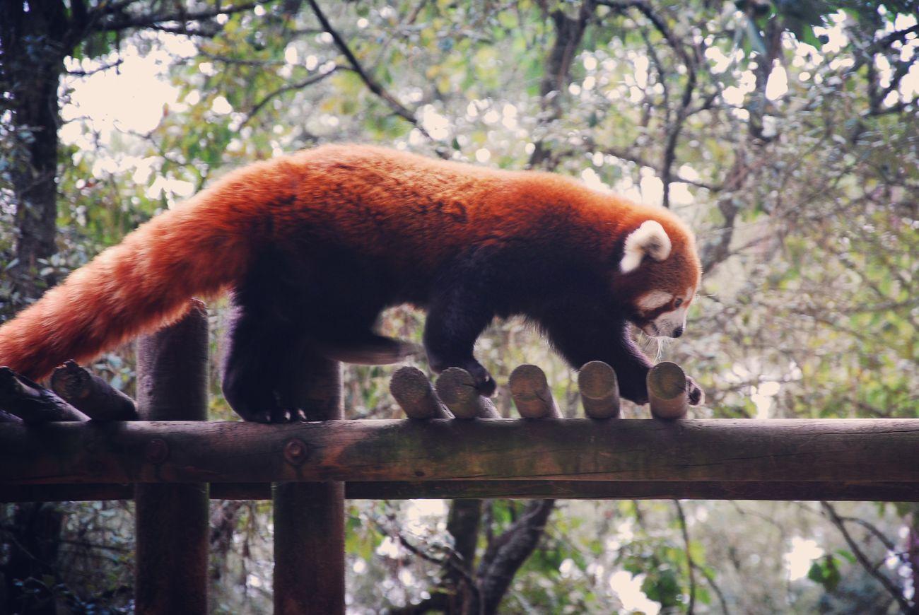 Animal Themes Animalia Animals Animals In The Wild One Animal Red Panda Redpanda Tree Wild Wildlife Zoo