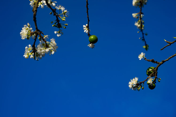Plum in blooming time at Mocchau Sơn La, Việt Nam Blue Sky, White Clouds, Flag, Color, Red Flag, Yellow Flag, Green Flag, Background Cherry Field Green Color Plum Blossom Plums Bloom Blooming Blooming Plum Mocchau Blu Sky Branch And Flowers Flowers Seasons Landscape Mocchau Blooming Mocchau Blooming Time Mocchau Plum Mocchau, Plum Plum Field Spring Spring Flowers Spring Time Spring Time 🌻 Tet Holiday White Folwers