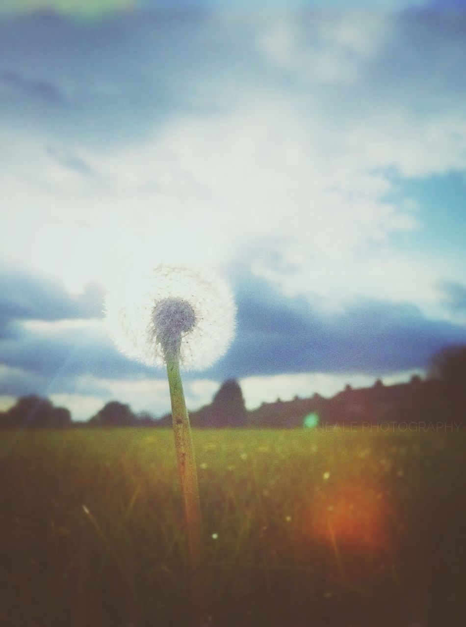 Dancing in the sun Flower Nature Growth Field Dandelion Plant Beauty In Nature Softness Sky Fragility Uncultivated Landscape Rural Scene Outdoors Tranquility Agriculture Sunset Close-up No People Hope Haze