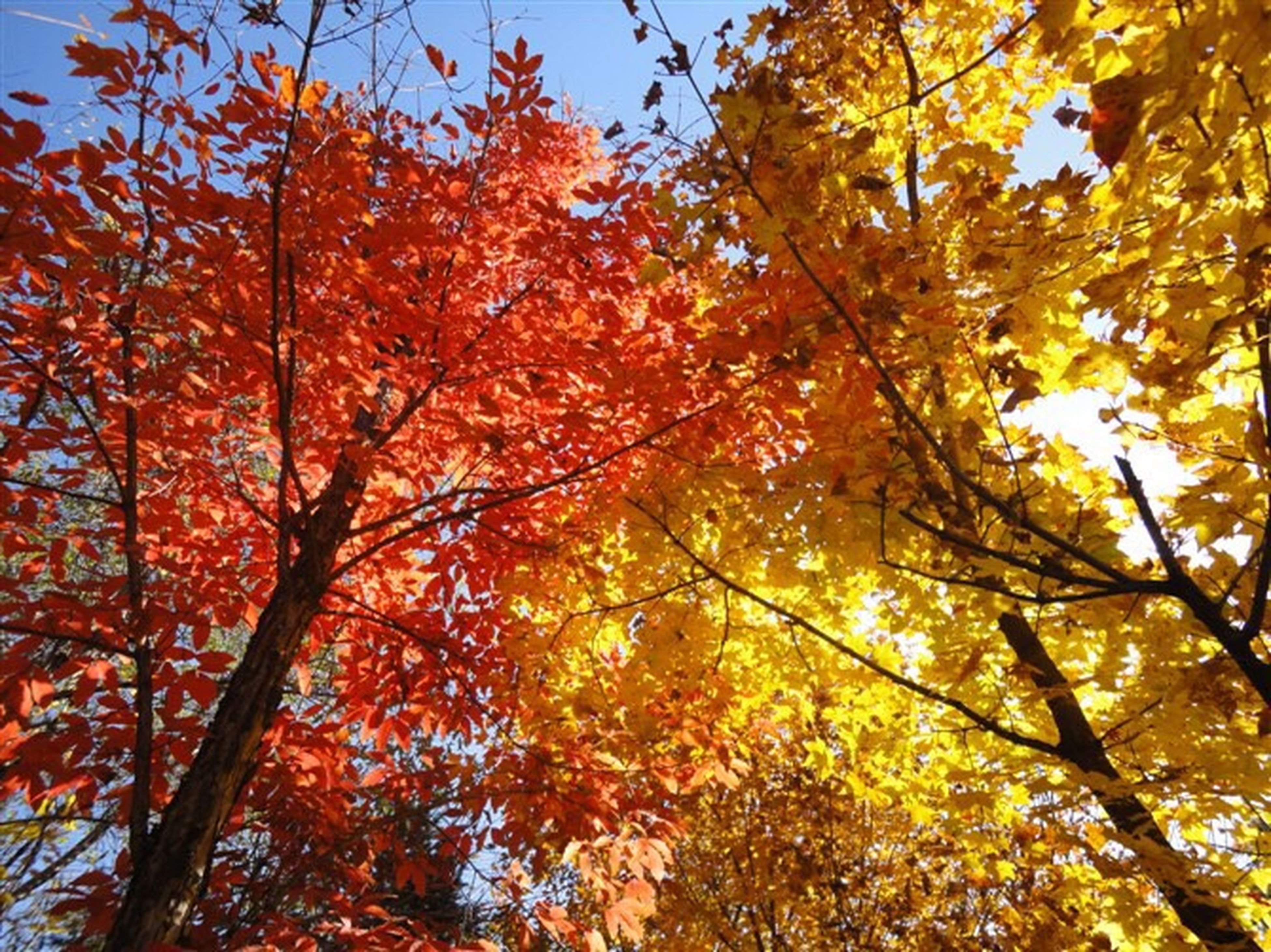 tree, autumn, change, season, low angle view, branch, growth, beauty in nature, orange color, nature, leaf, tranquility, sky, scenics, day, clear sky, yellow, outdoors, tranquil scene, no people