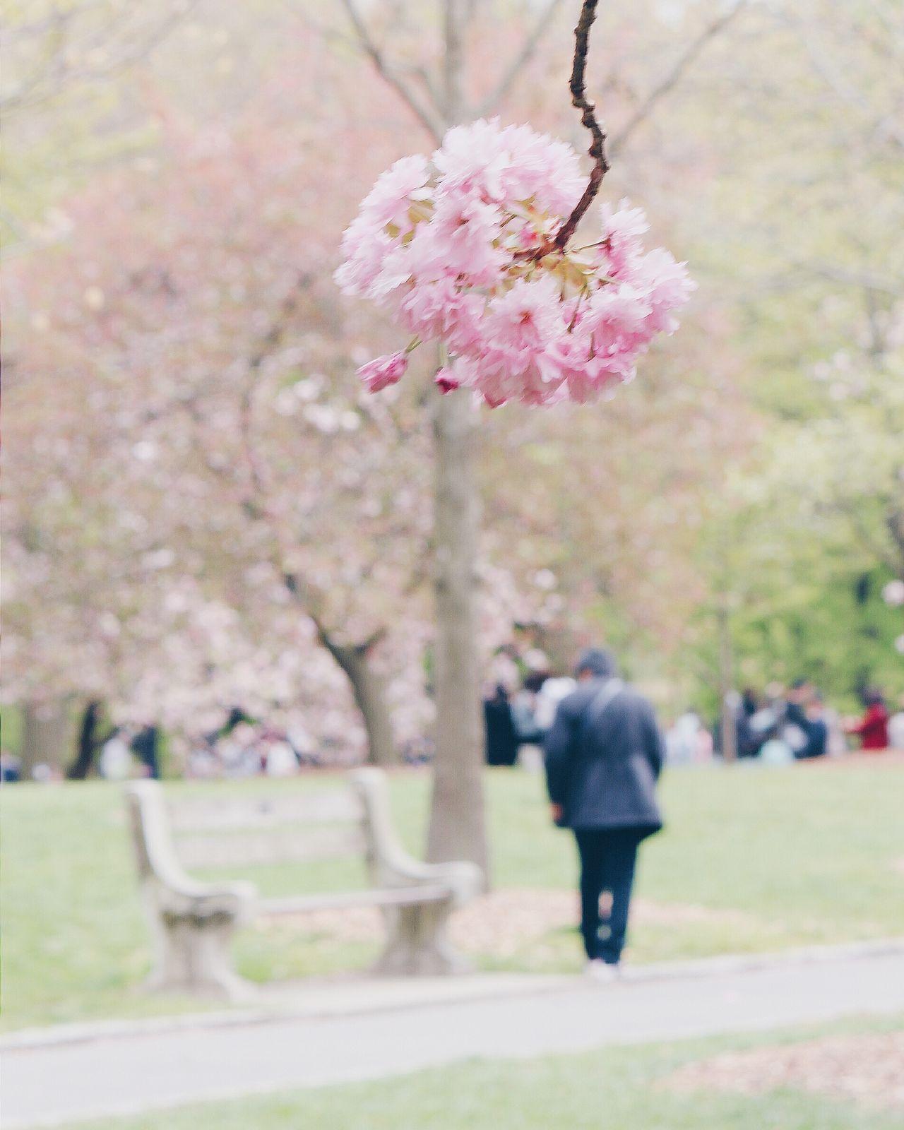 Hanging Out Cherry Blossoms Cherry Blossom BrooklynBotanicGarden BrooklynBotancialGarden New York Beautiful Beautiful Nature Beauty In Nature Beauty Cherryblossom Cherry Blossom Tree