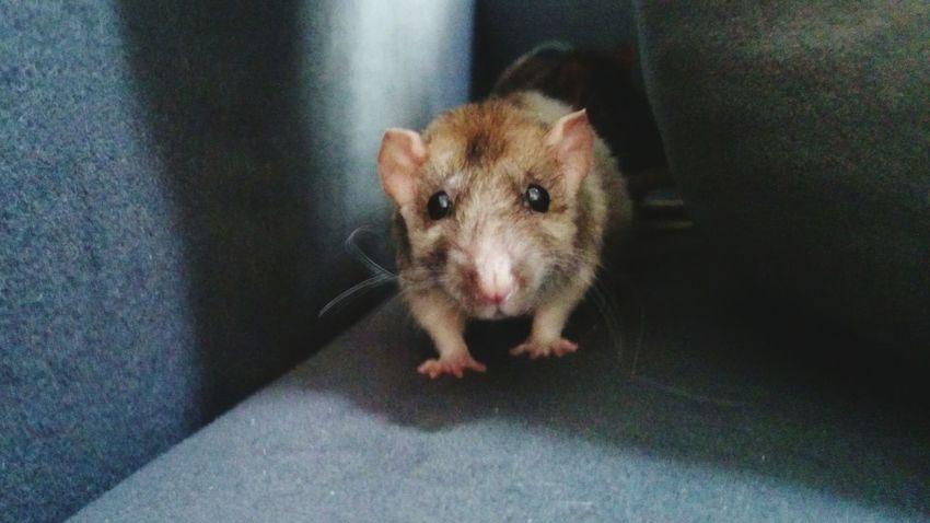 Rat Poupette Love ♥