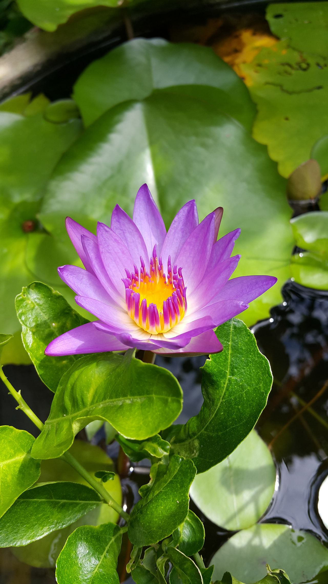 Lotus Lotus Flower Lotus Water Lily Purple Flower Purple Lotus Violet Flowers Violet Flower Lotuspond