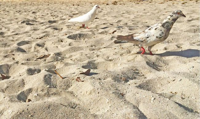 Beach life Bird Animals In The Wild Animal Themes Animal Wildlife Sand Seagull Sunlight Outdoors Beach No People Day Perching Low Angle View Beach Birds Birds_collection Birds Of EyeEm  Birds Eye View Tranquility Direction Claws Moving Bird Head More Than One White Bird Paradise