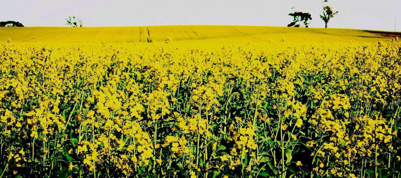 Canola crop south australia Canola Crop Australia
