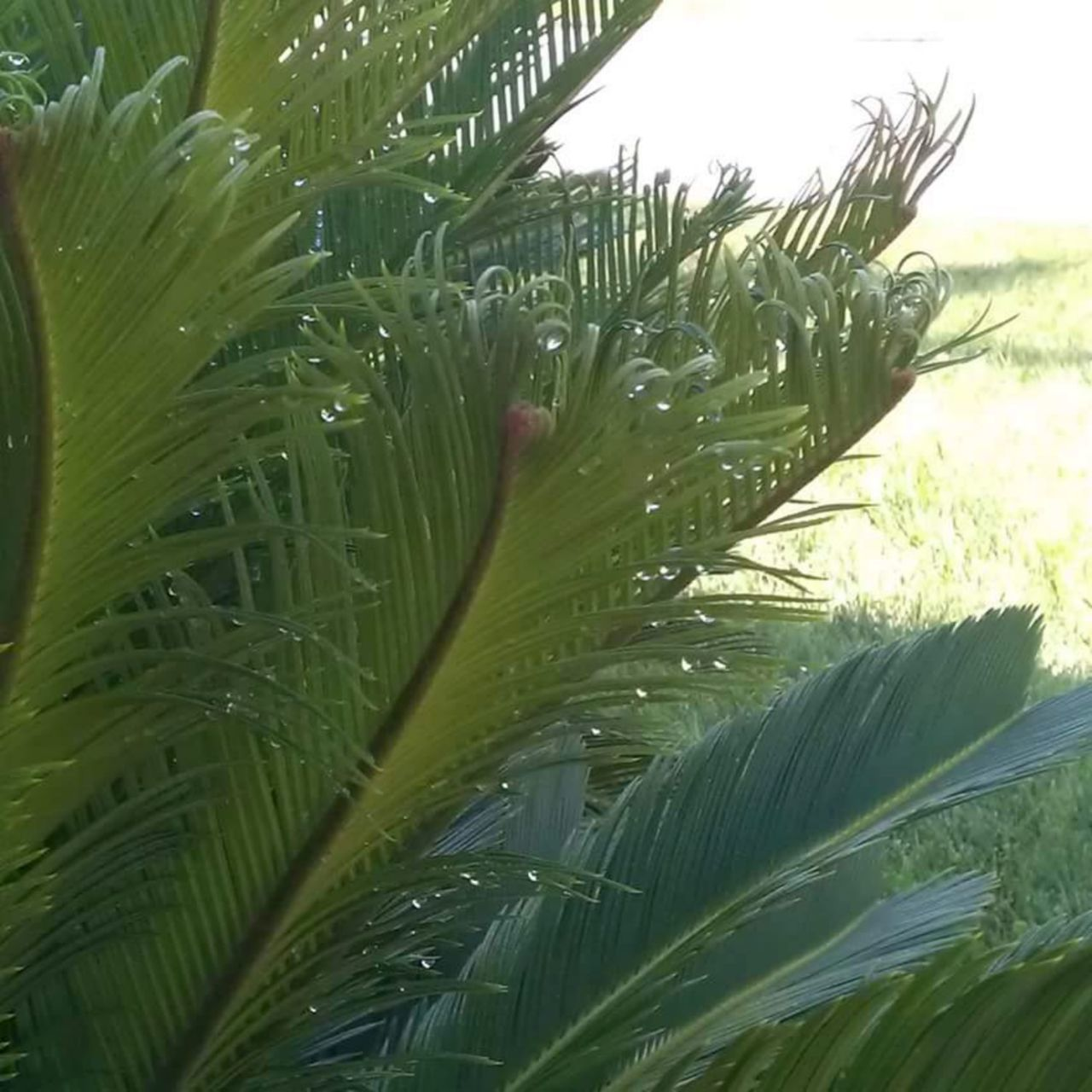 Taking Photos Morning Dew Dew Drops Home Is Where The Art Is Riverside California No People, Outdoors Color Photography Beautiful Day Colour Of Life Green Sego Palms Green Leaves Green Grass Color Palette Eyemphoto Ice Age Maximum Closeness