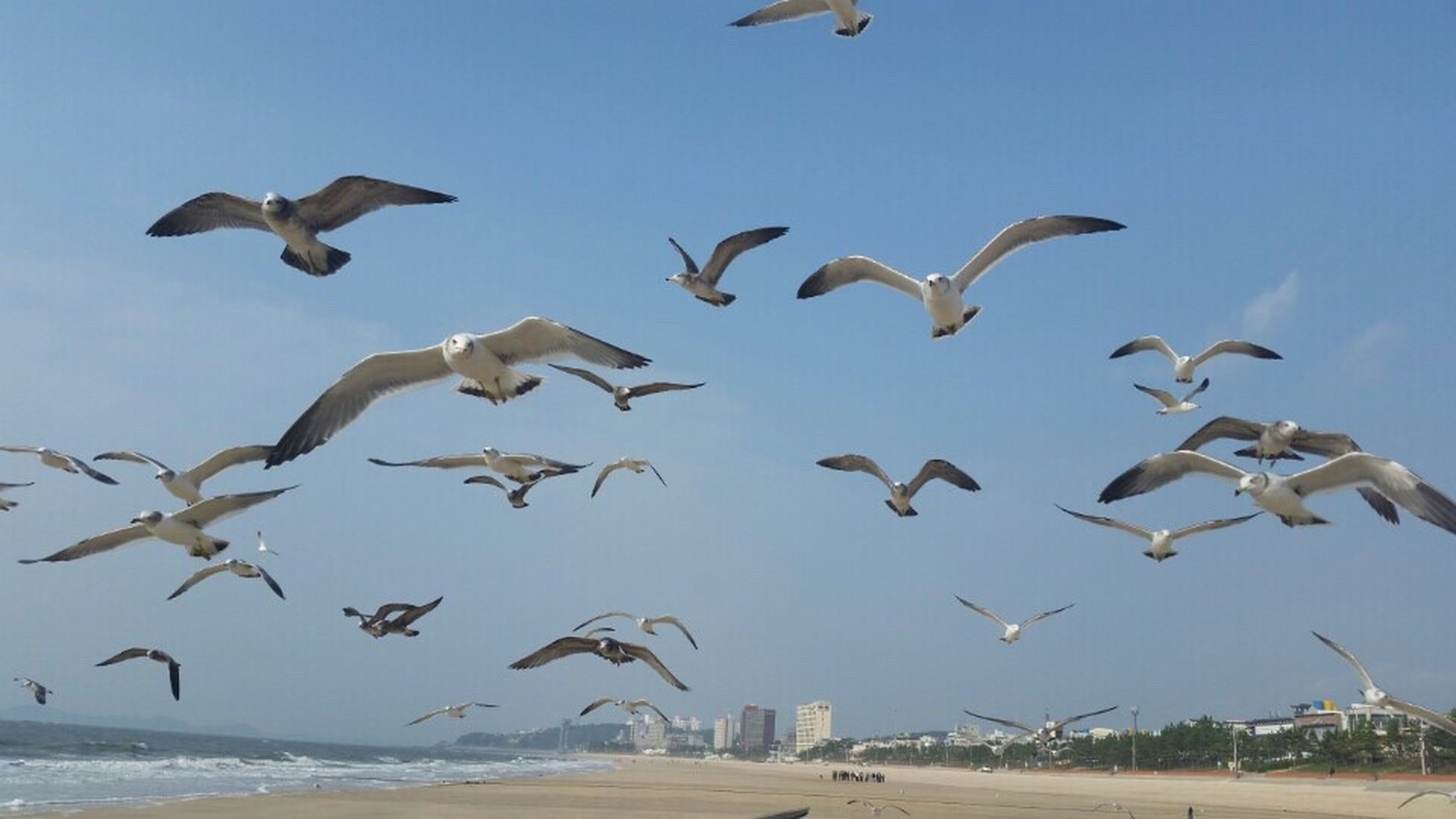 대천 해수욕장 갈매기 Flying Bird Animals In The Wild Animal Themes Large Group Of Animals Mid-air Day Spread Wings No People Flock Of Birds Animal Wildlife Nature Outdoors Sky