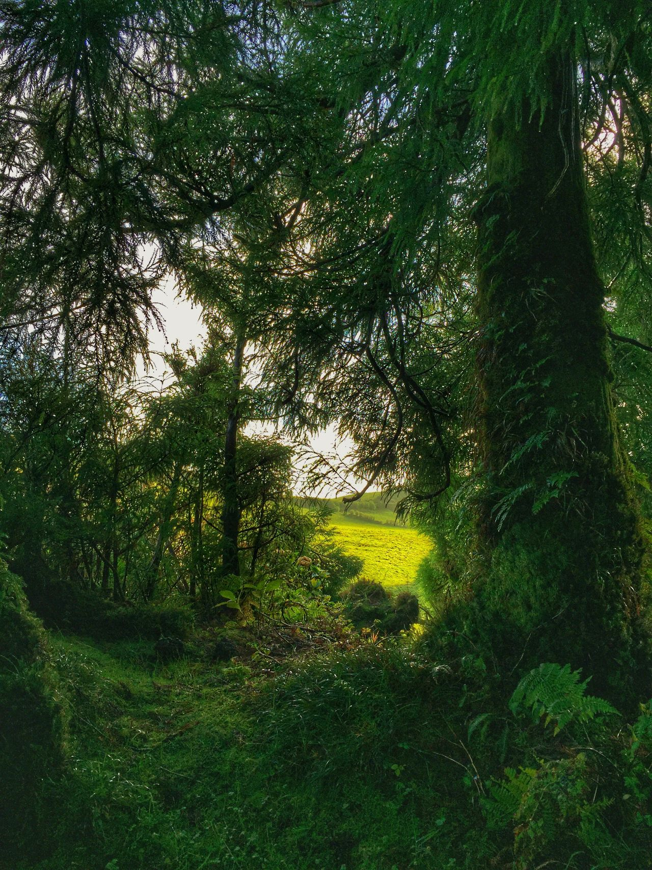 Tree Nature Green Color Tranquility Growth Beauty In Nature Forest Grass Lush Foliage Tranquil Scene No People Scenics Tree Trunk Outdoors Landscape Day Portugal #potugalemfotos #festanaaldeia15 #cannonfotography Azores