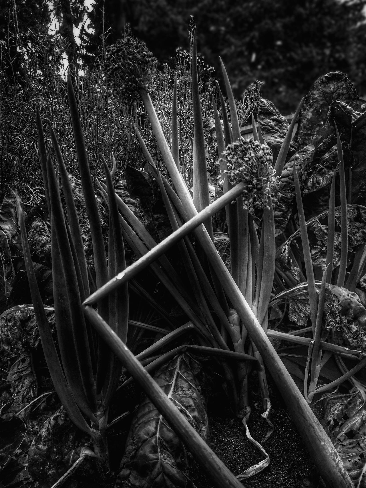 Close-up Growth Plant Full Frame Nature Lush Foliage Outdoors Soil Tranquility Beauty In Nature Botany Perspective Views Black And White Dirt Scenics Togetherness
