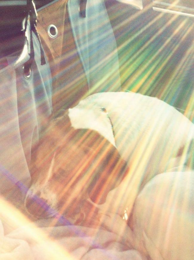 Sunlight Sunbeam Sammy♡ Sammythebeabull Sammythebeabullonfacebook Beabulls Dogs Of EyeEm Dog❤