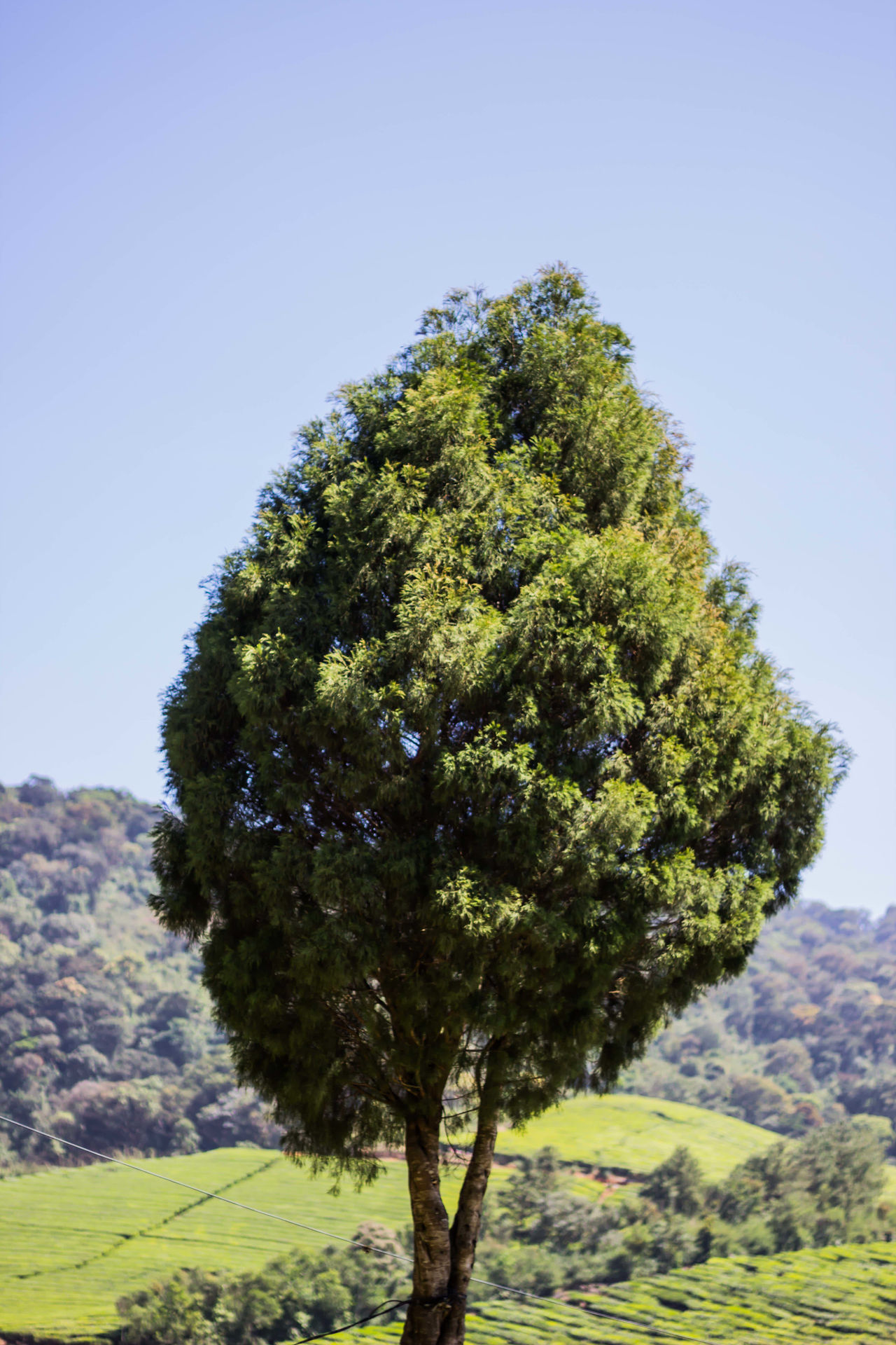 Tree Growth Nature Clear Sky No People Casualphotography Beauty In Nature Tranquility Outdoors Day Sky Megamalai