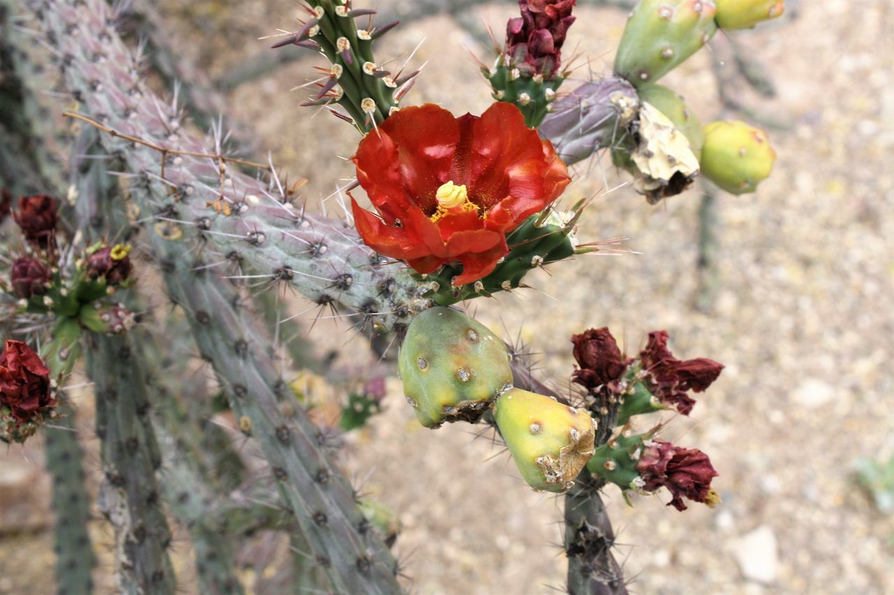 Beauty In Nature Blooming Branch Cactus Cactusflower Close-up Day Flower Flower Head Focus On Foreground Fragility Freshness Growth Nature No People Outdoors Petal Plant Red Red Color Springtime Tree