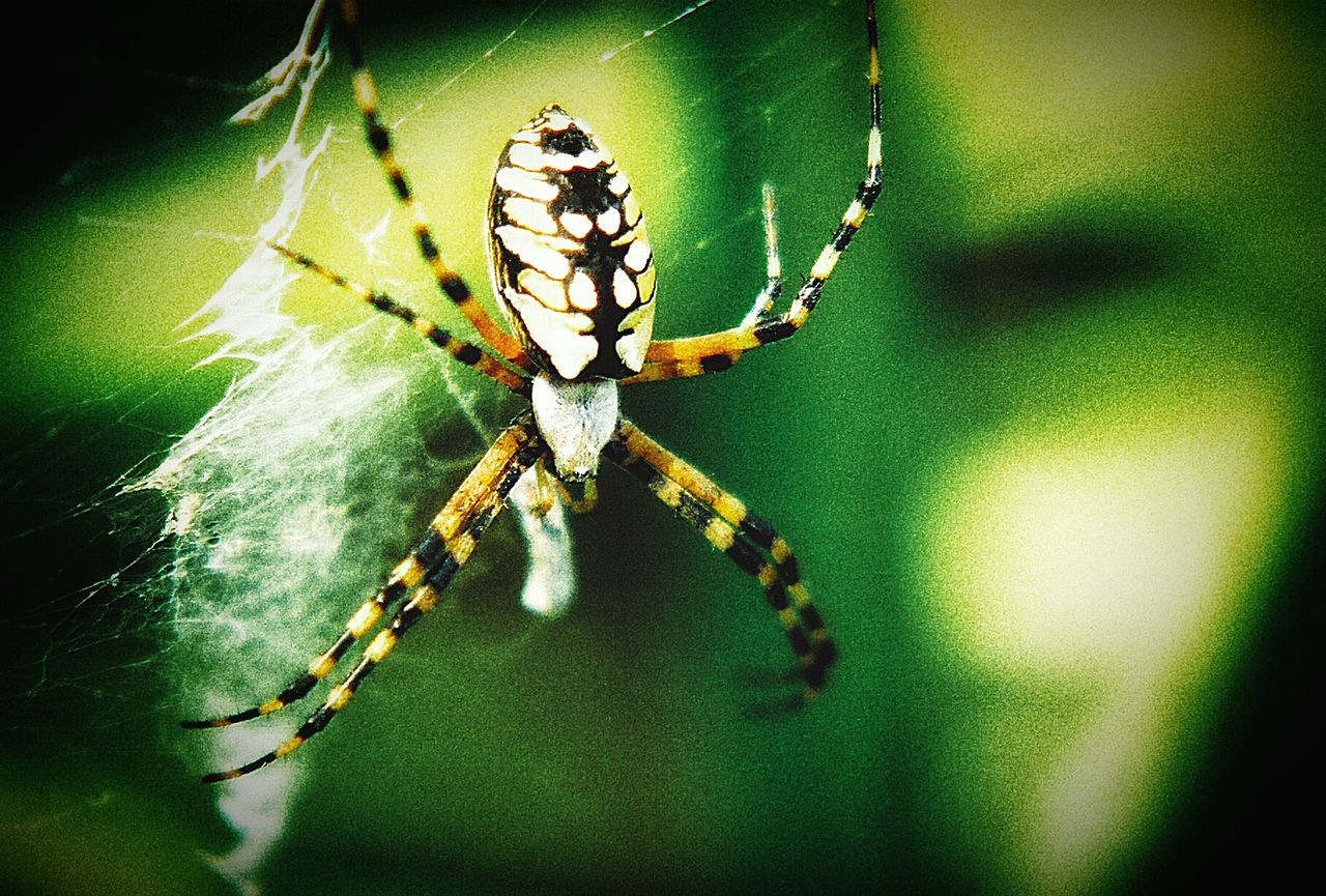 Big Spider Spider In A Web Banana Spider 💛Banana Spider💛 Mobile Photography