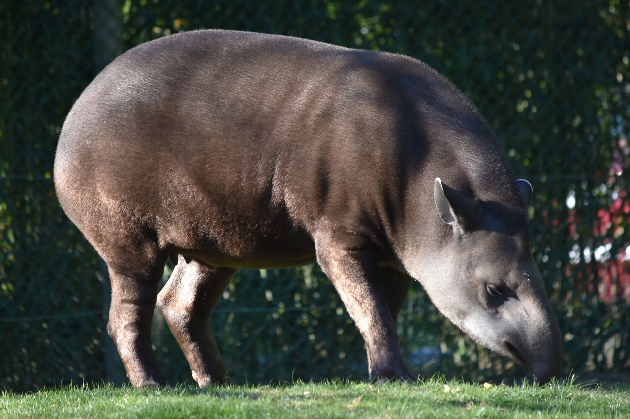 tapir Animal Themes Day Domestic Animals Field Grass Mammal Nature No People One Animal Outdoors Tapir