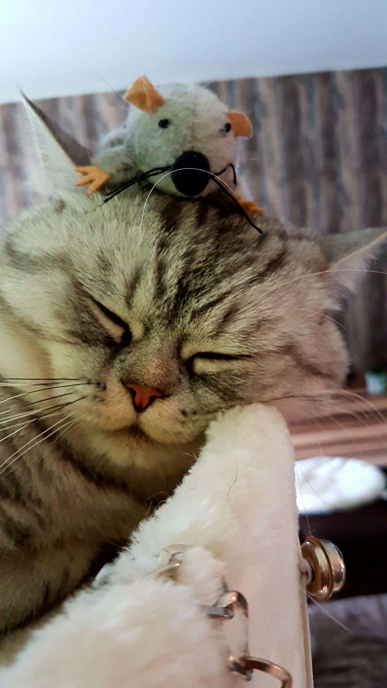 Katze Maus Animal Themes Domestic Cat Pets Maus