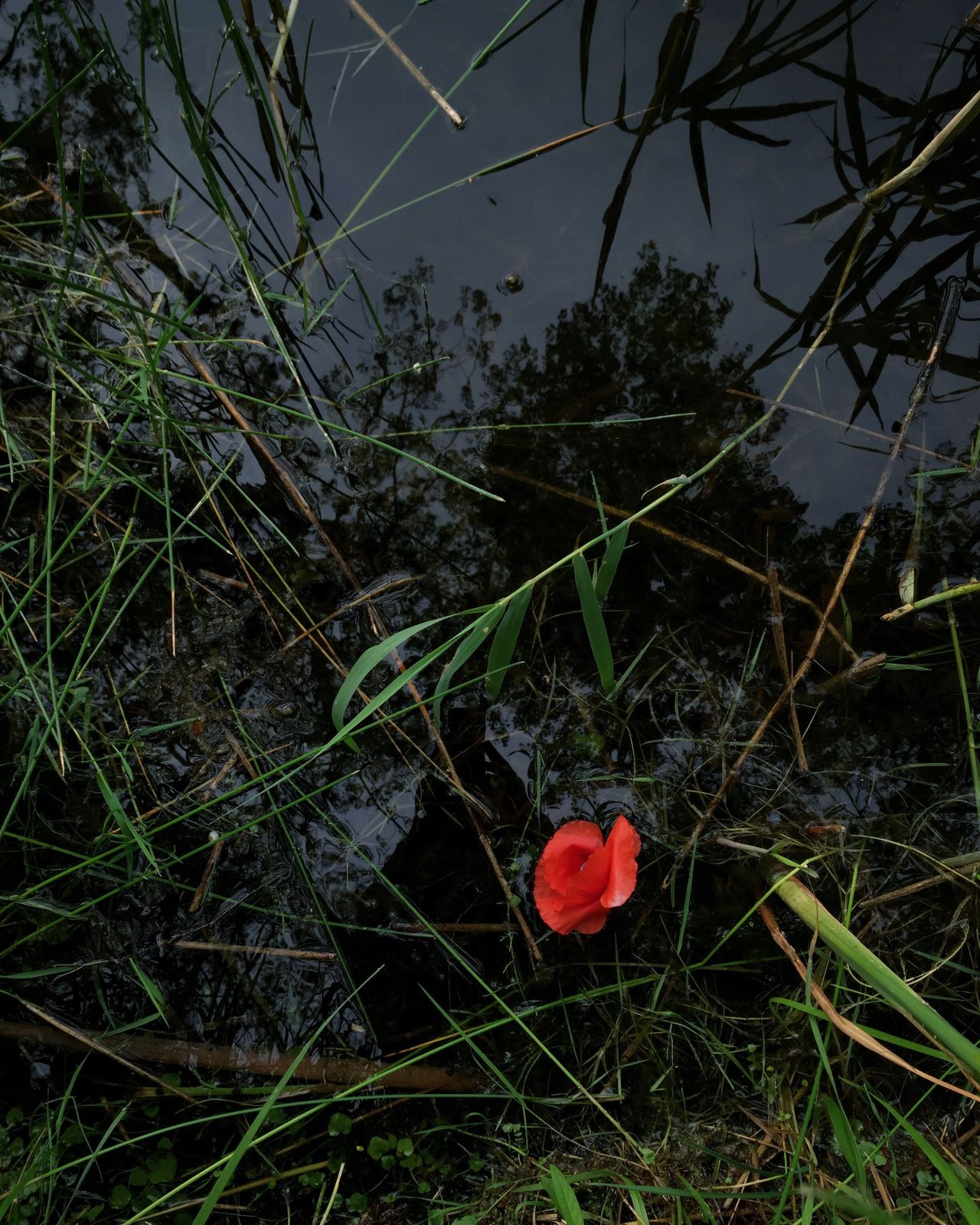 Red poppy flower in the pond Growth Nature Heart Shape No People Plant Red Outdoors Flower Beauty In Nature Love Grass Day Close-up Fragility Tree Freshness Poppy Flowers Pond Dark Mysterious Brandenburg Summer