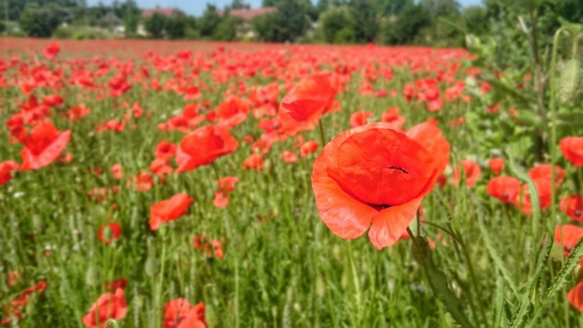 Coquelicot Champs De Coquelicots Fleurs Flowers Flowerporn Flower Collection Red Red Flower Rouge Champs