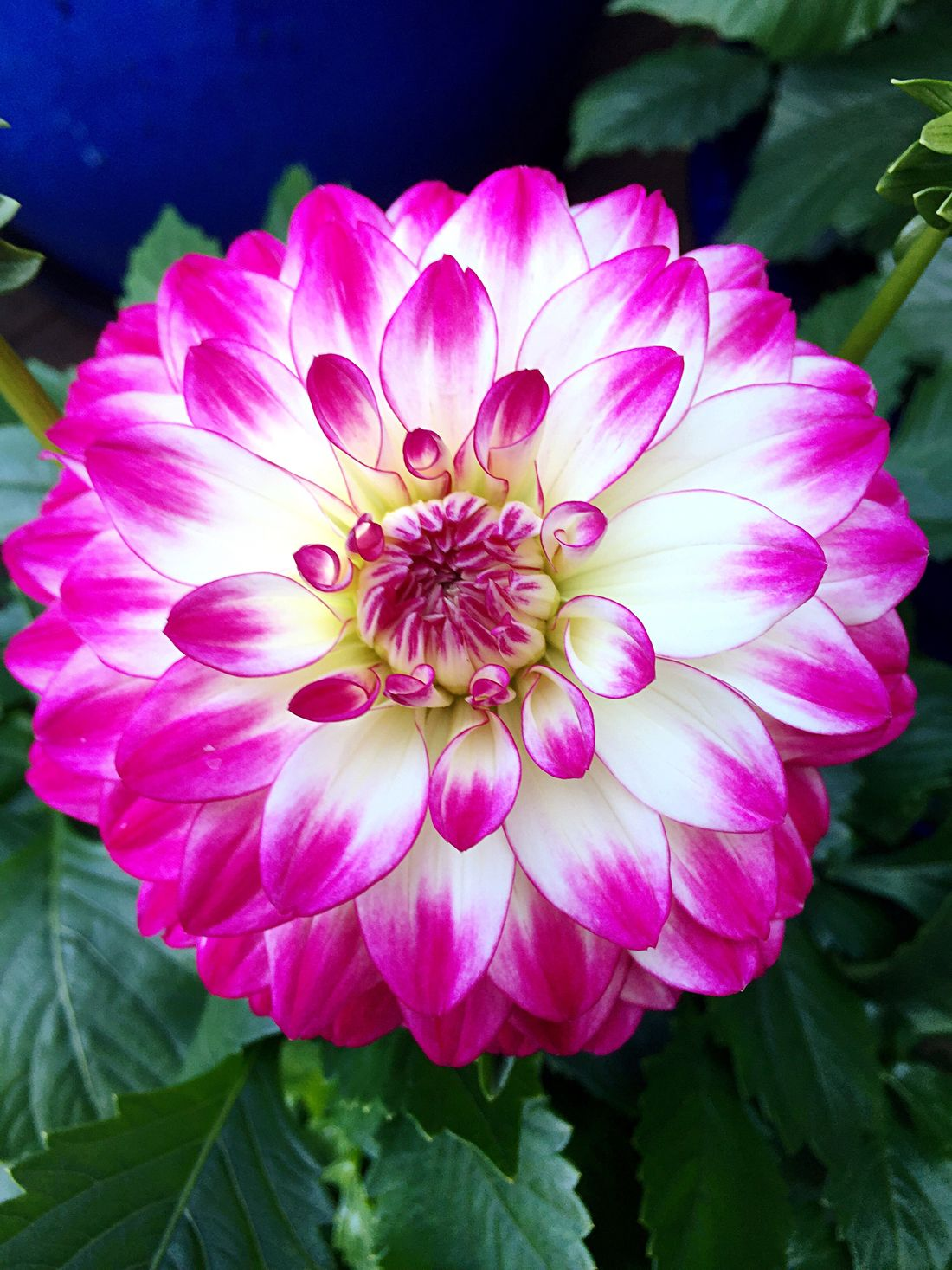 Flower Petal Fragility Beauty In Nature Nature Freshness Blooming Growth Flower Head Plant Close-up Pink Color Outdoors No People Day Zinnia  Georgin Georginafleur