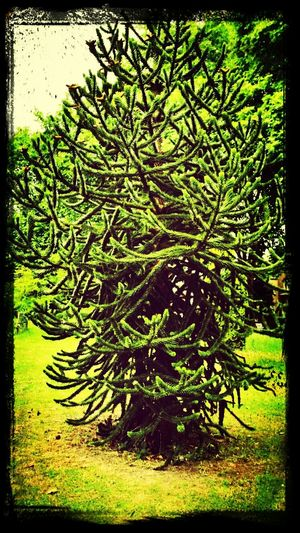 Monkey Puzzle Tree Spiky Victoria Park