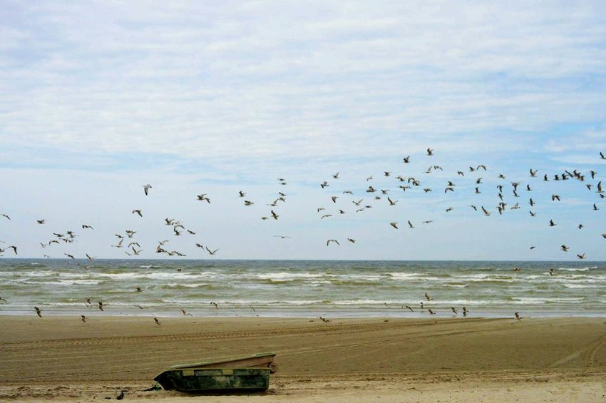 Beach Flock Of Birds Bird Flying Animals In The Wild Sea Animal Wildlife Animal Themes Nature Sand Beauty In Nature Water Sky Horizon Over Water Outdoors Day Seagull Baie De Somme  Marquenterre