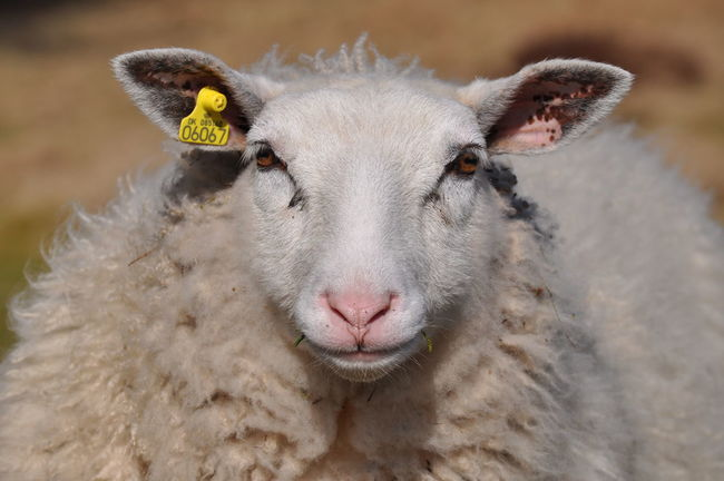 The Portraitist - 2016 EyeEm Awards Portrait EyeEm Best Shots Original Experiences Enjoying Life Stare Look Wool Sheep Front View Full Frame Frontal Shot Animals Moment Grass